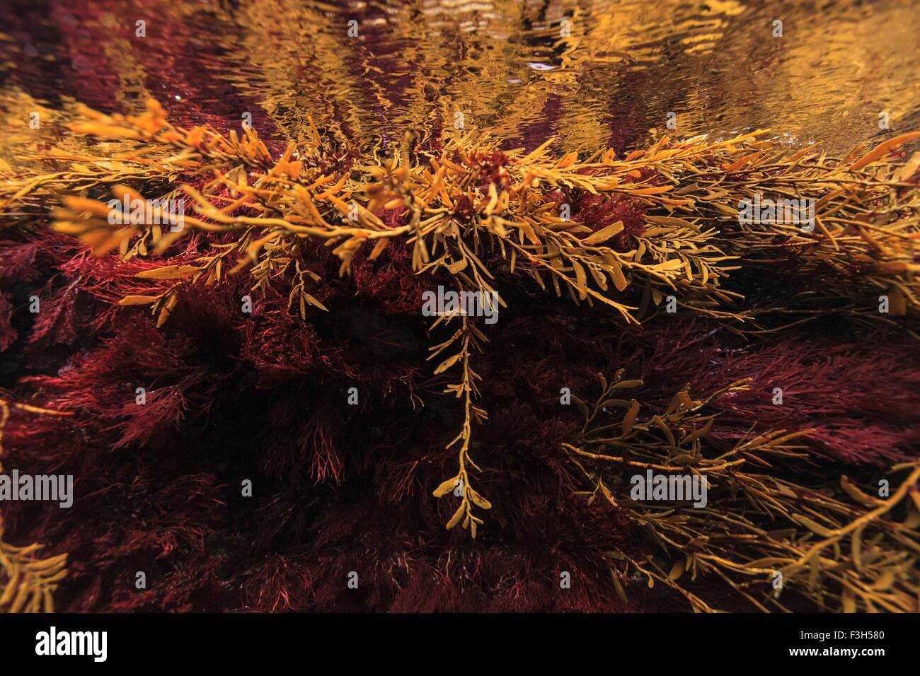 Red and brown New Zealand seaweeds, Intertidal Zone, Poor Knights Island Marine Reserve, New Zealand - Stock Image