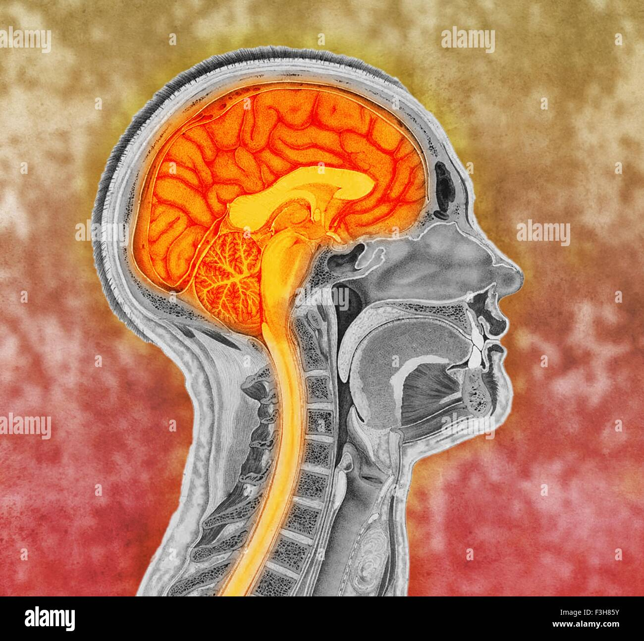 Colorized antique illustration of the human brain - Stock Image