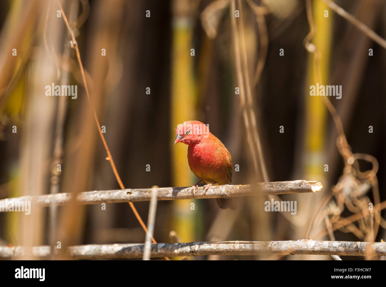 Red-billed firefinch (Lagonosticta senegala), Likoma Island, Lake Malawi, Malawi, south-east Africa Stock Photo