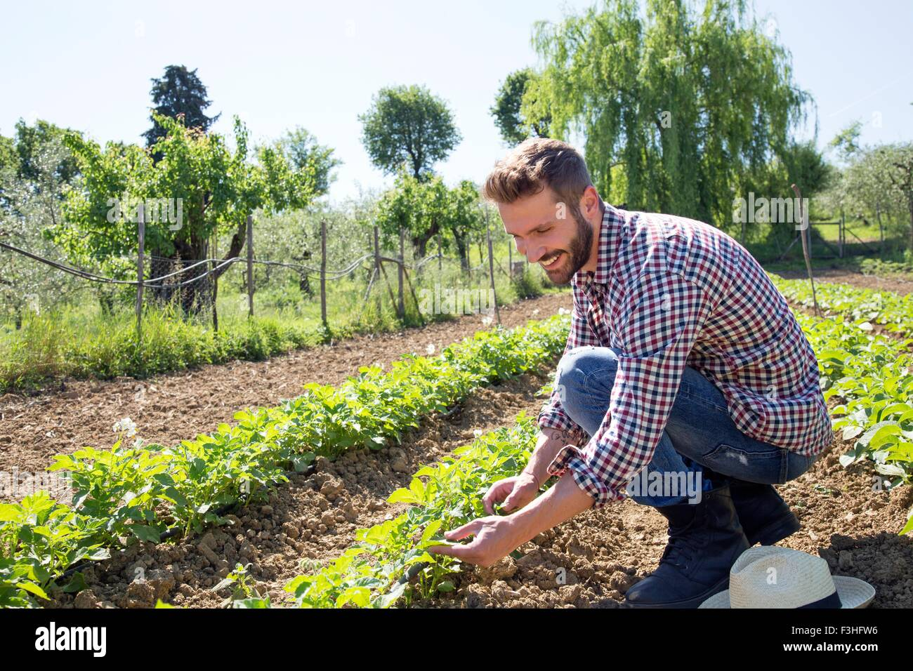 Young man crouched in field tending to tomato plants - Stock Image