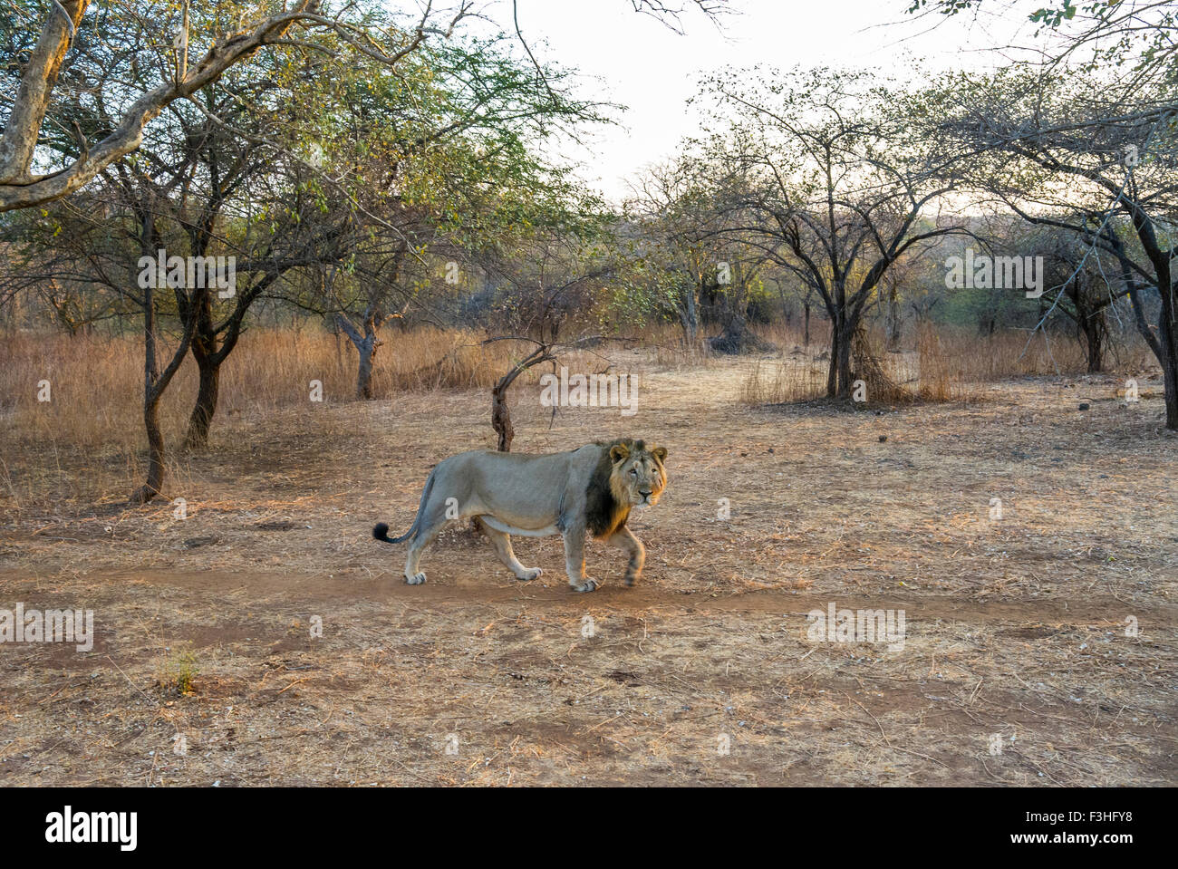 Asiatic Lion in his habitat (Panthera leo persica) at Gir forest, Gujarat, India. - Stock Image