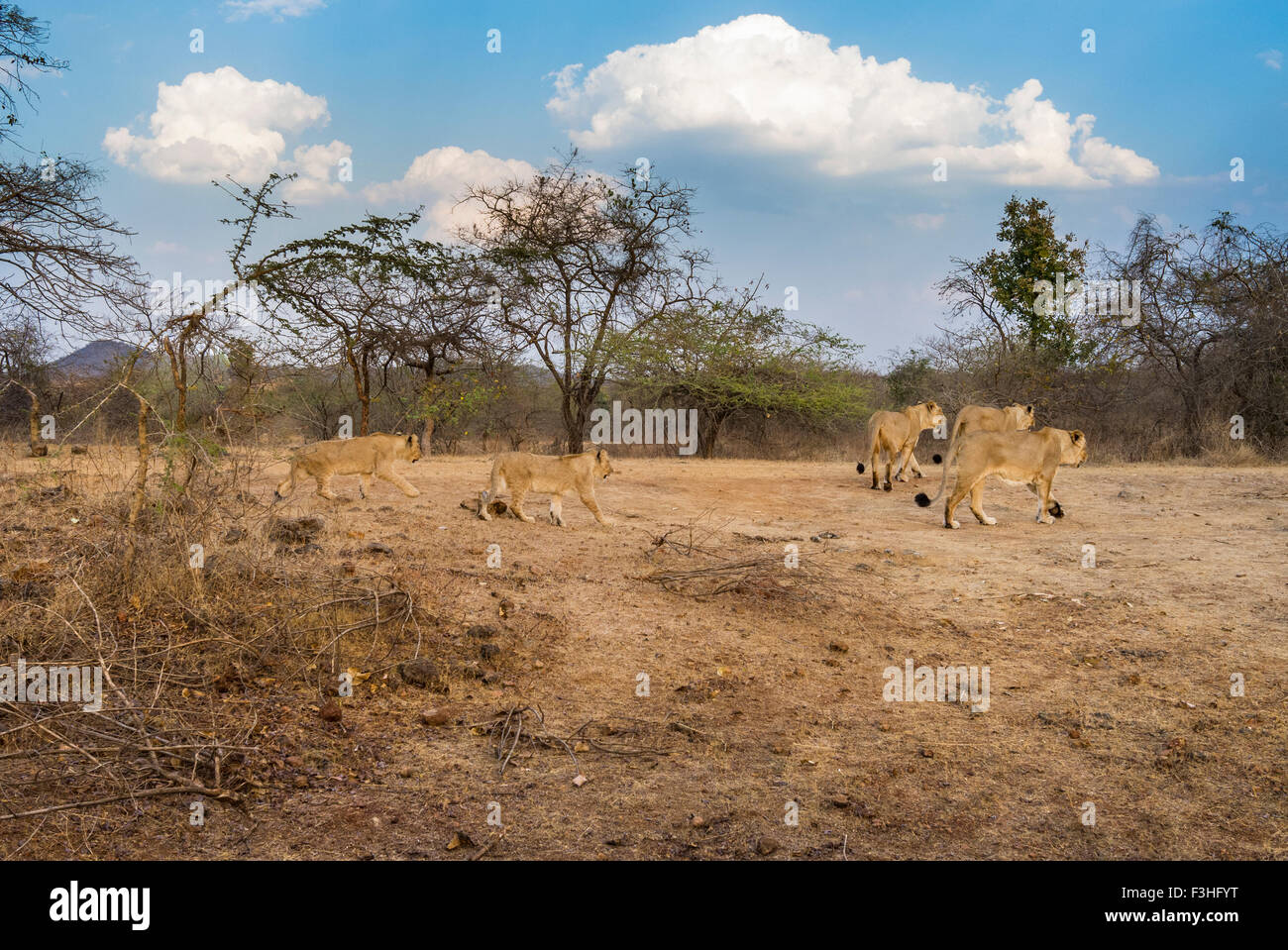 Asiatic Lions Pride [Panthera leo persica] at Gir Forest, Gujarat India. - Stock Image