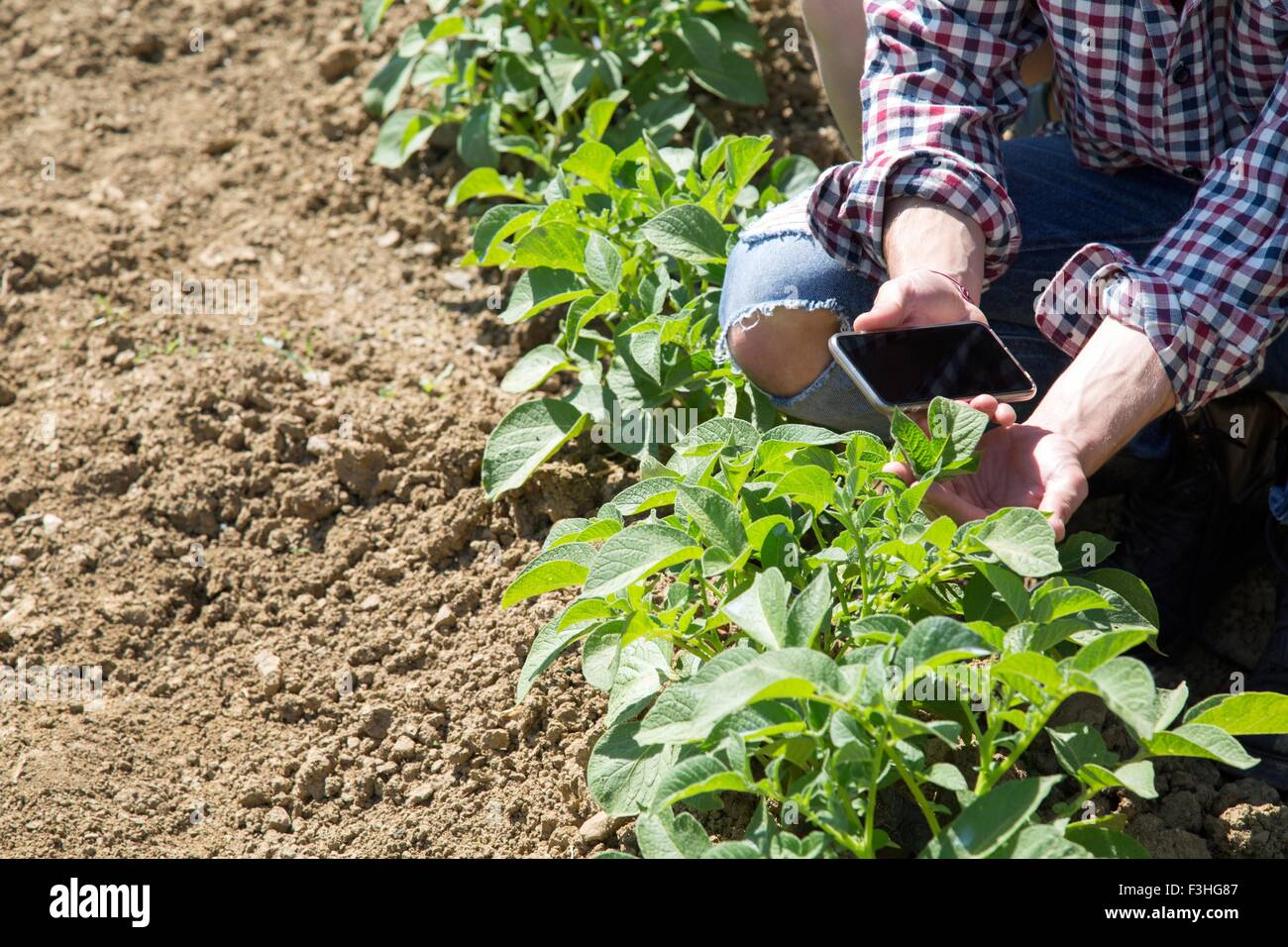 Cropped view of young man crouched in vegetable garden holding smartphone - Stock Image