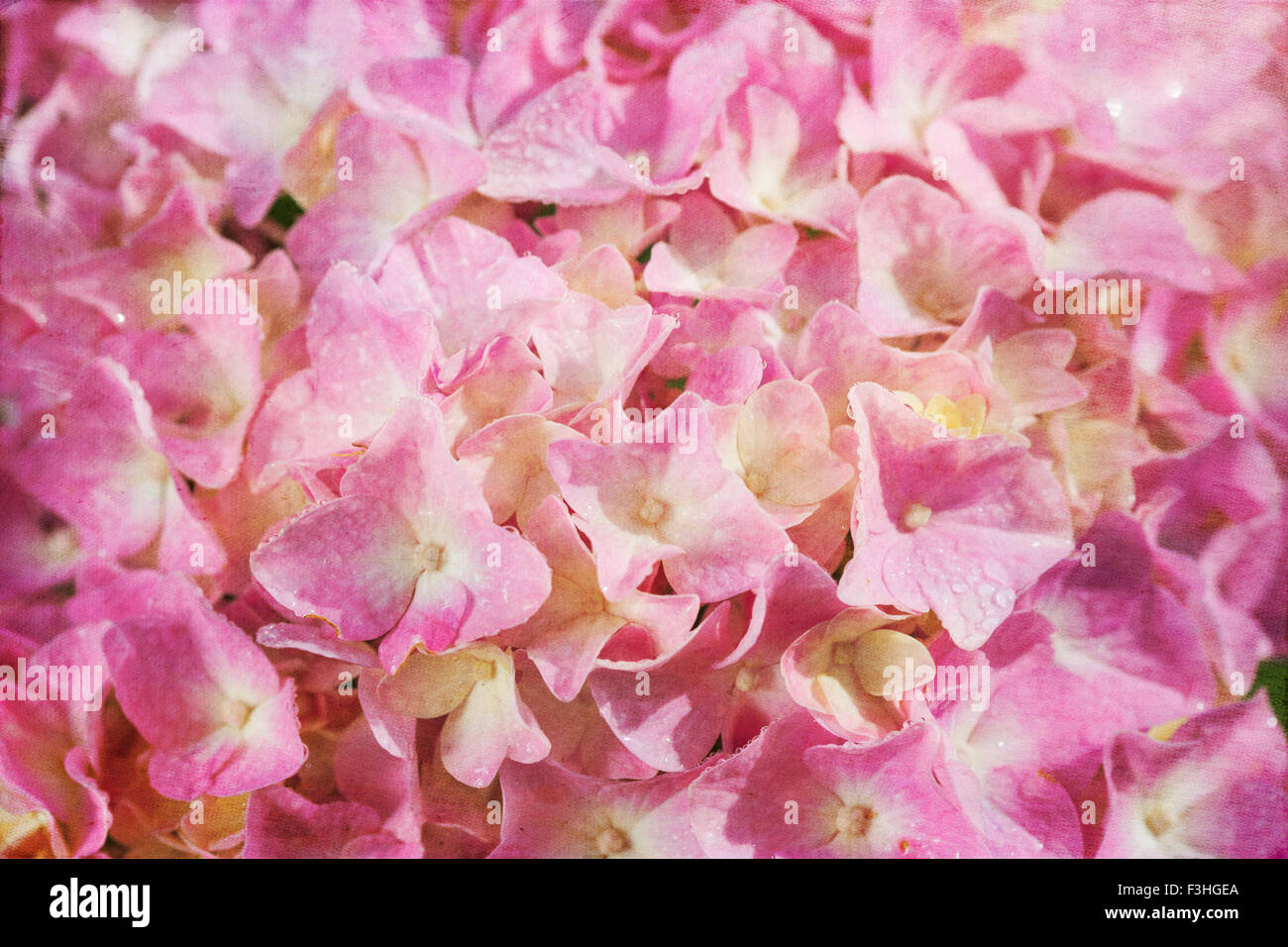 Close up of a pink hydrangea flower with a vintage textured effect. - Stock Image