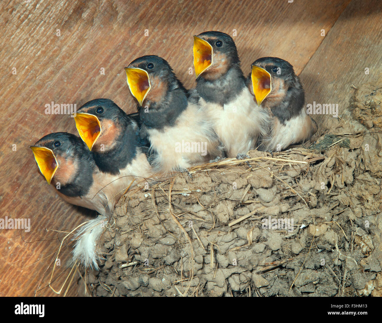 young Swallows Hirundo rustica  waiting for a feed in farm outbuilding - Stock Image