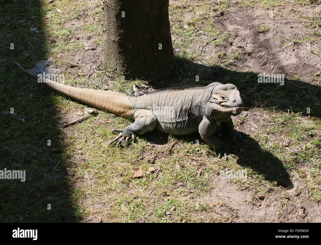 Caribbean Rhinoceros iguana (Cyclura cornuta) Stock Photo