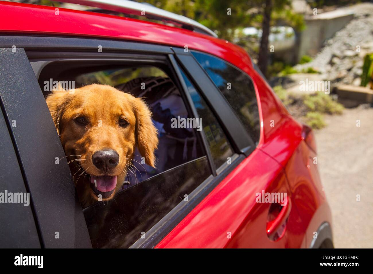 Dogs head poking out of  red car window - Stock Image
