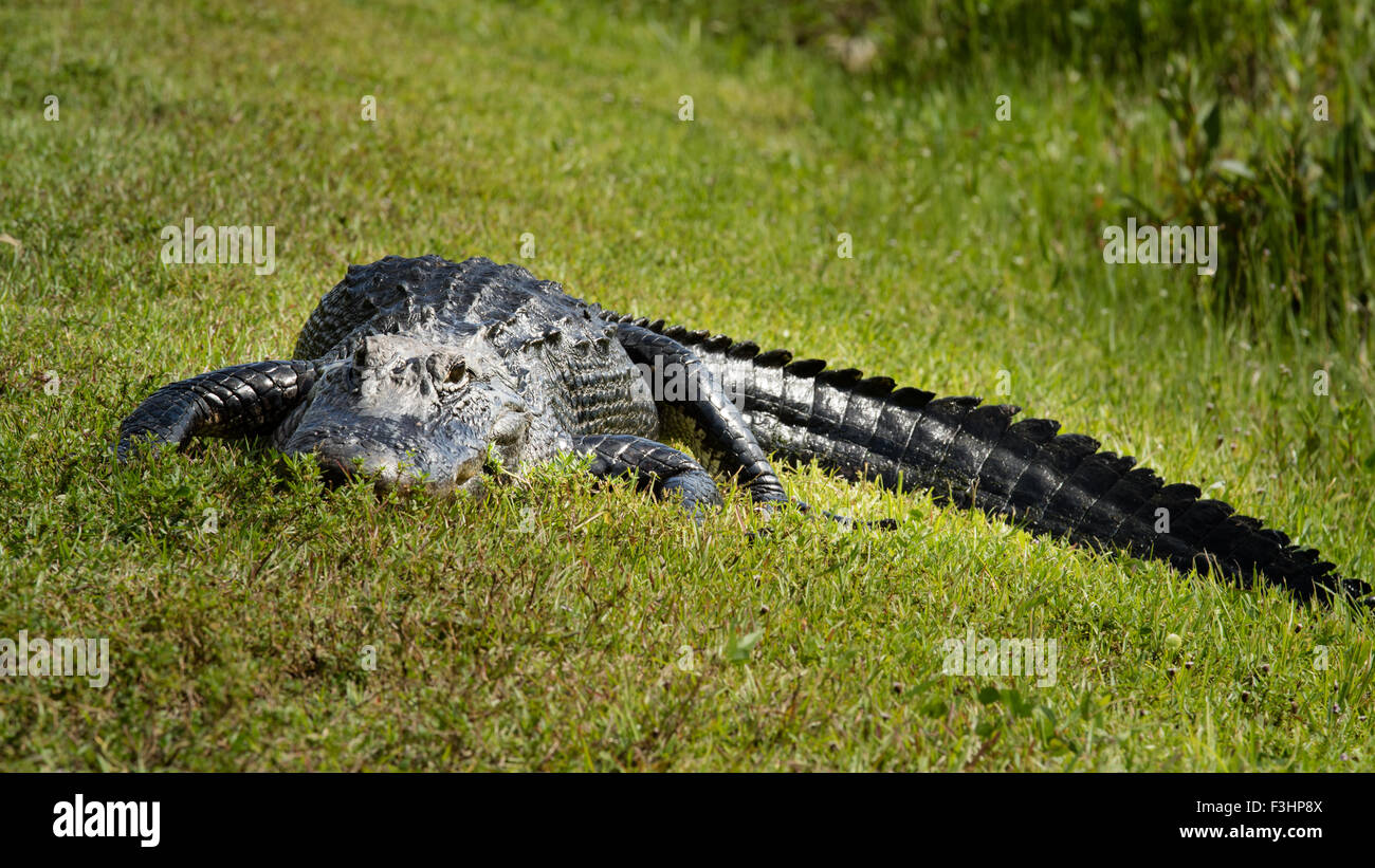 An alligator photographed at a low angle resting on grass - Stock Image