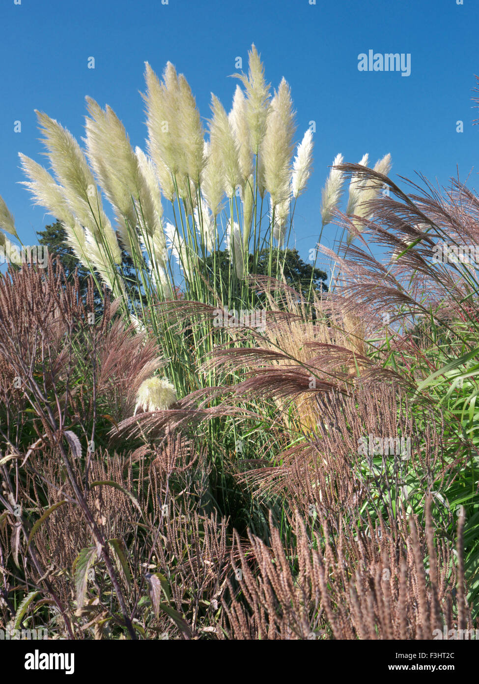 Cortaderia Selloana Commonly Known As Pampas Grass With Varieties