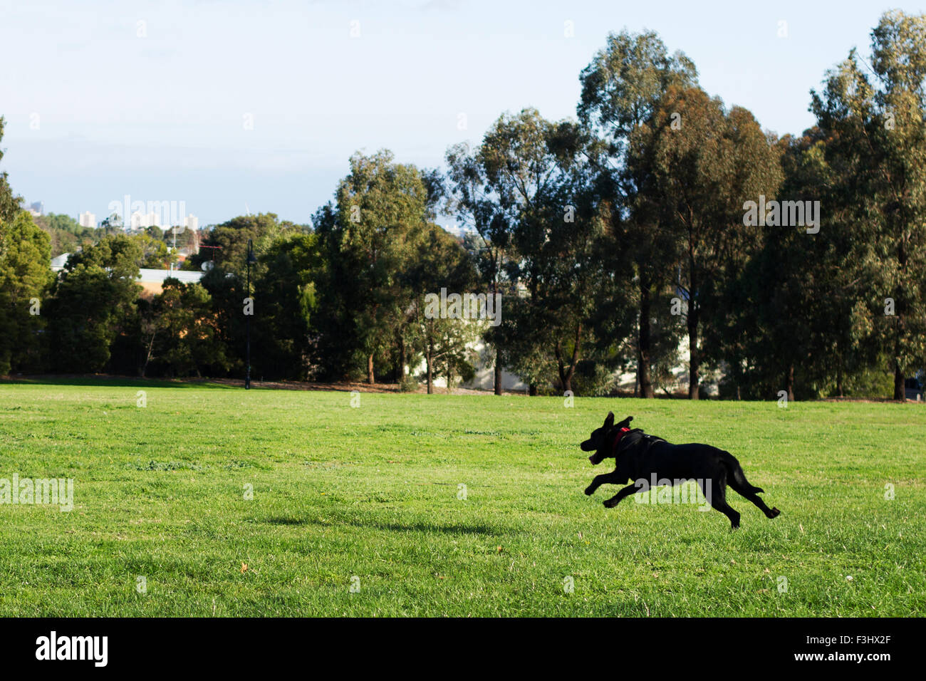 A black dog chases a ball through All Nations Park in Melbourne Australia. - Stock Image