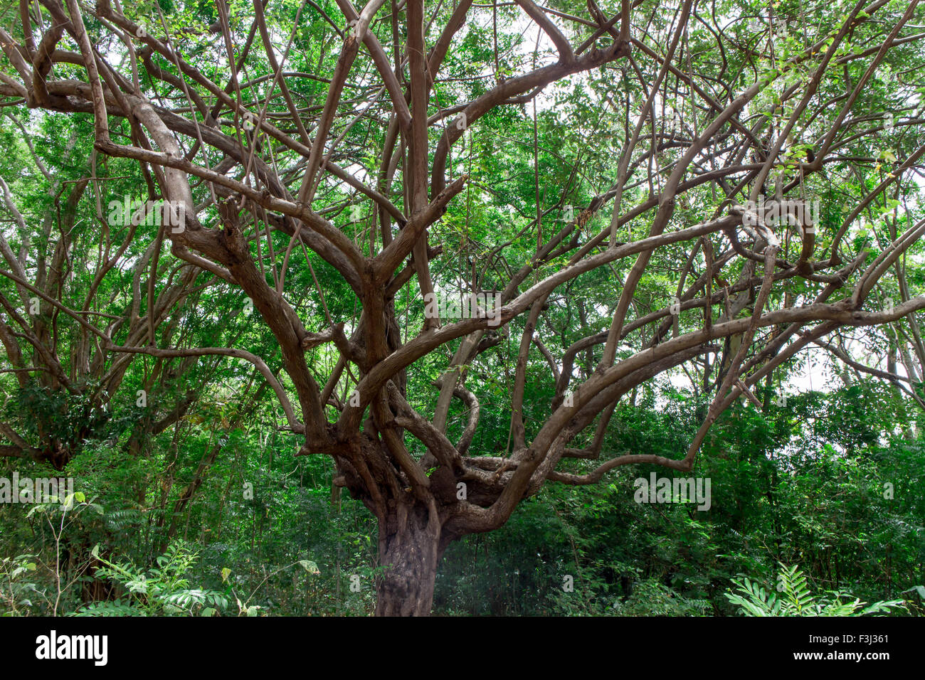 big tree with branch magnify - Stock Image