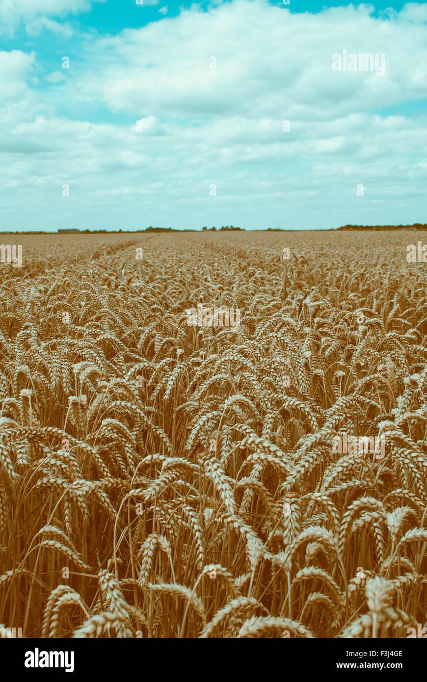 Beautiful wheat field - Stock Image