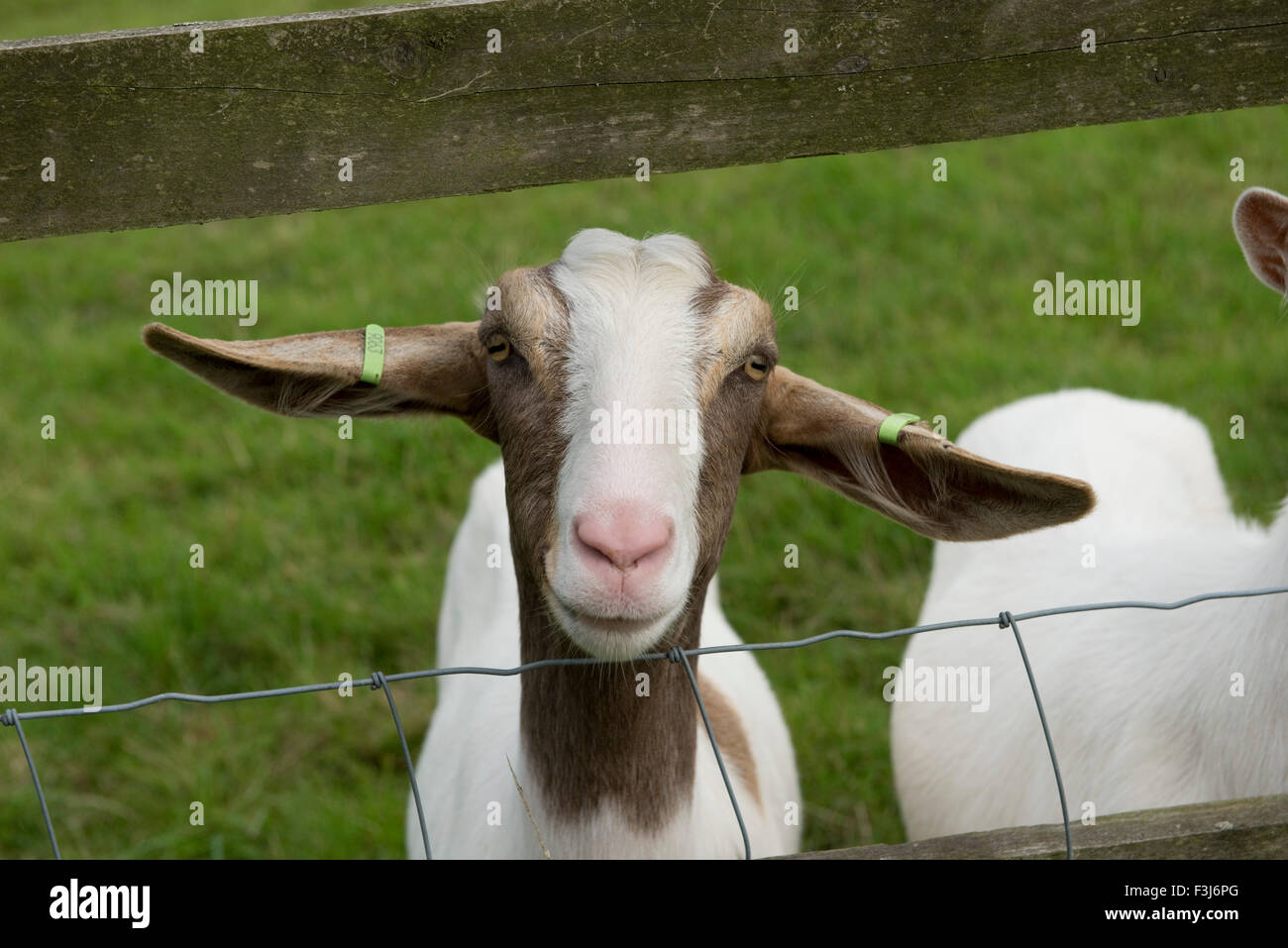 A boer type nanny goat, offspring from milking goats kept as a pet, Berkshire, August - Stock Image