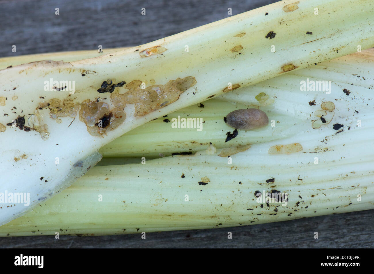 Slug grazing damage to blanched celery sticks, which occurs inside the cover around the stems, Berkshire, September - Stock Image