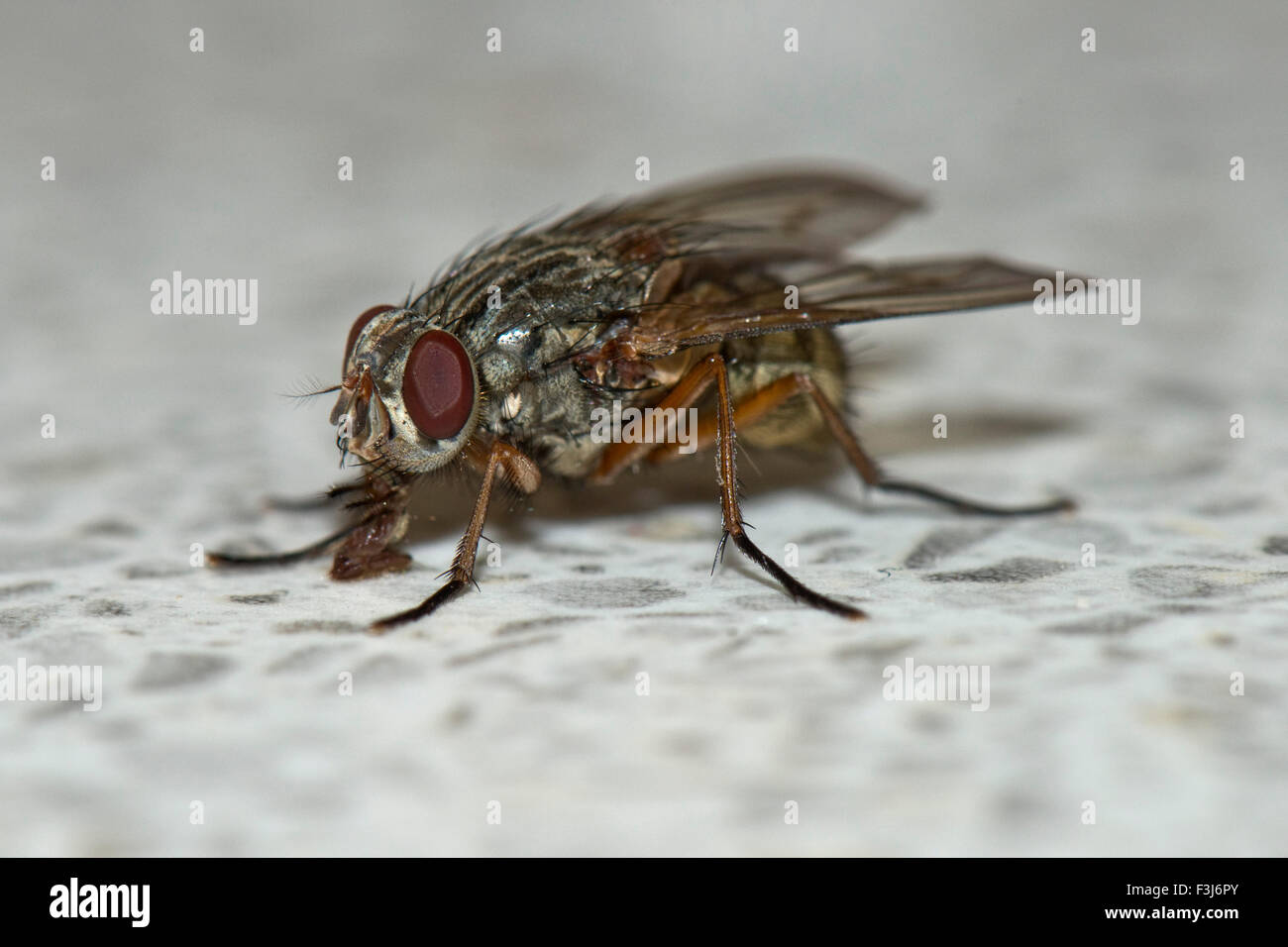 A housefly, Phaonia valida, using its labellum to feed from a kitchen work surface, UK - Stock Image