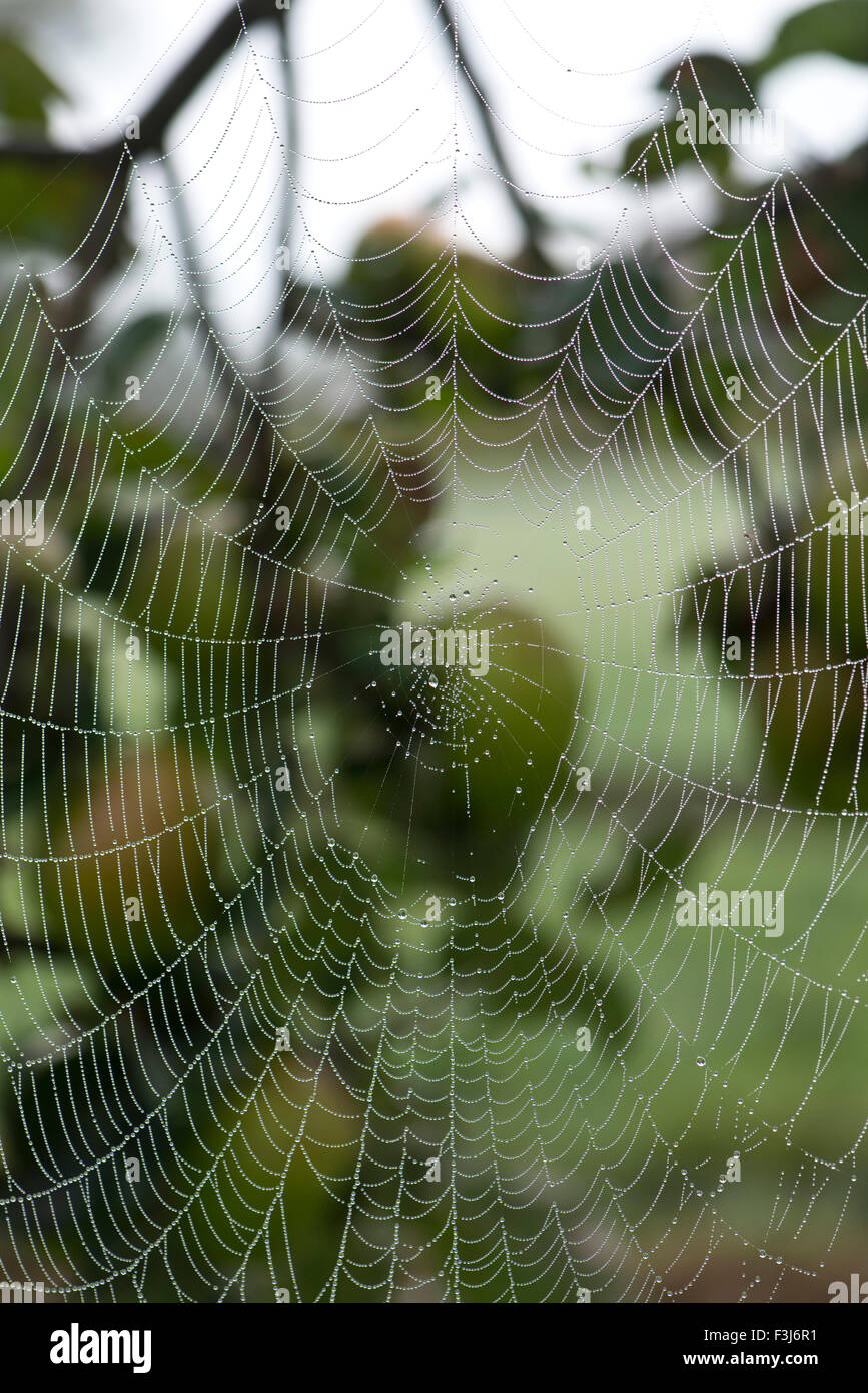 A garden spider's, Araneus diadematus, dew covered orb-web on an apple tree early on an autumn morning, Berkshire, - Stock Image