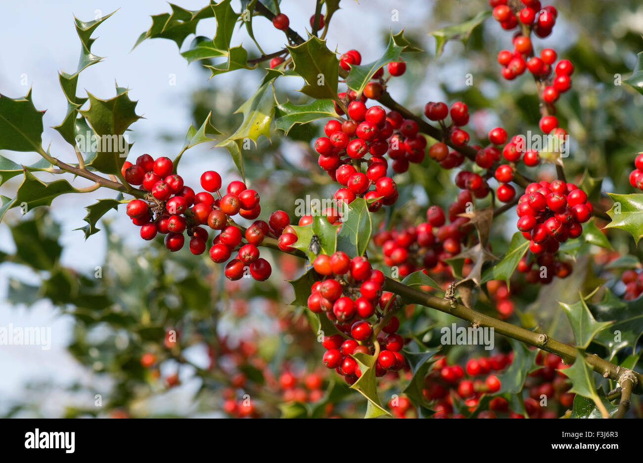 Holly, Ilex aquifolium, red berries and green leaves in early autumn, Berkshire, UK, October Stock Photo