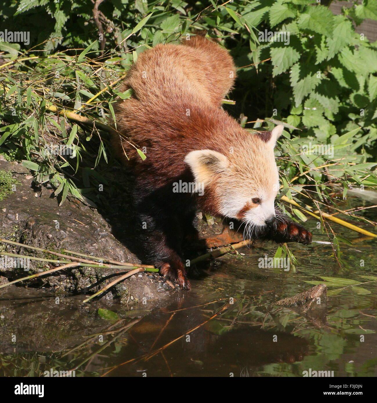 Asian Red Panda (Ailurus fulgens) at the water's edge, fishing - Stock Image