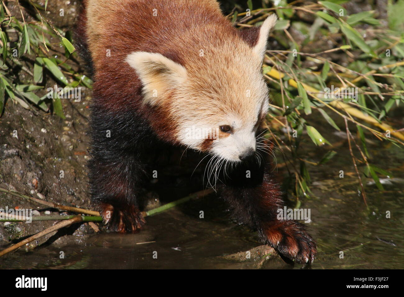 Asian Red Panda (Ailurus fulgens) at the bank of a  stream - Stock Image