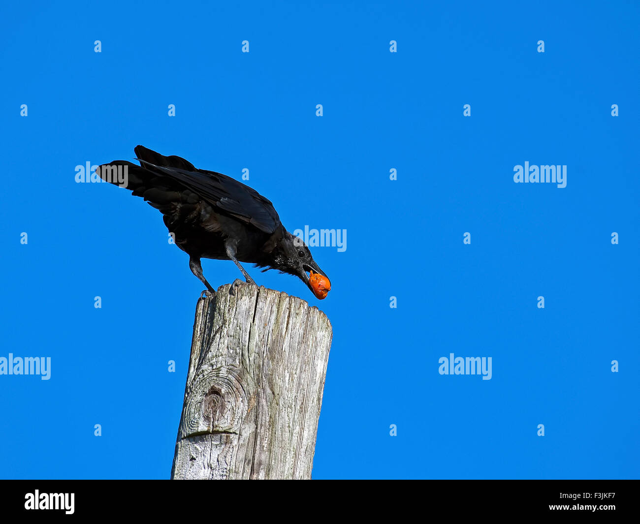American Crow Something in Mouth - Stock Image