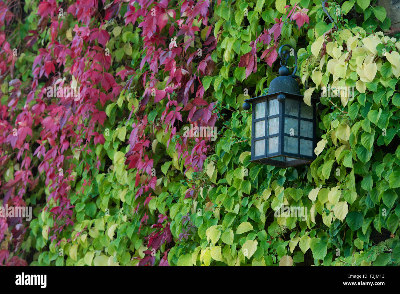 Outside lamp on a cotswold cottage surrounded by hydrangea petiolaris leaves. Cotswolds, England - Stock Image