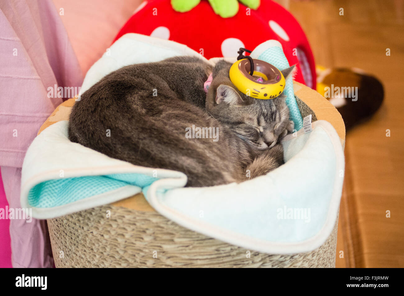 Cat resting at Happy Neko Cat Cafe in Shibuya, Tokyo, Japan with a kitten donut on its head Stock Photo
