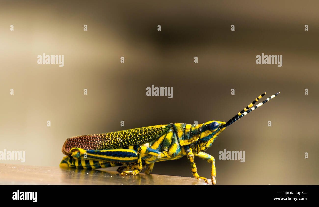 Gaudy grass hopper on abstract background - Stock Image