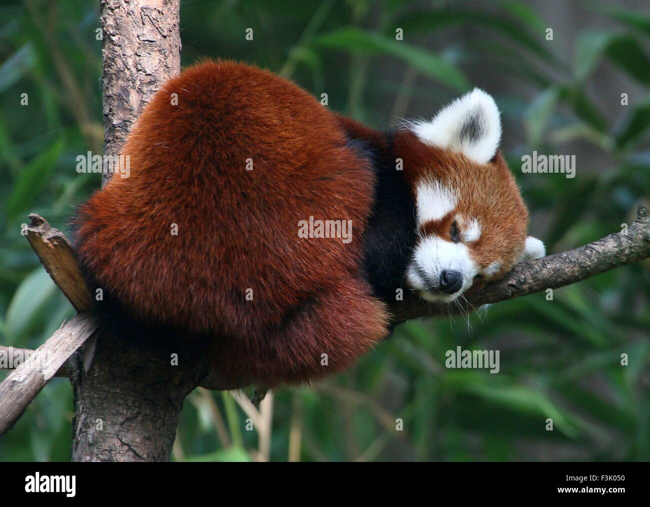 Asian Red Panda (Ailurus fulgens) sleeping in a tree - Stock Image