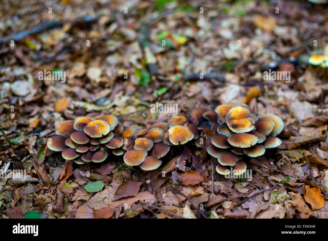 Forest fungi in the Netherlands Stock Photo