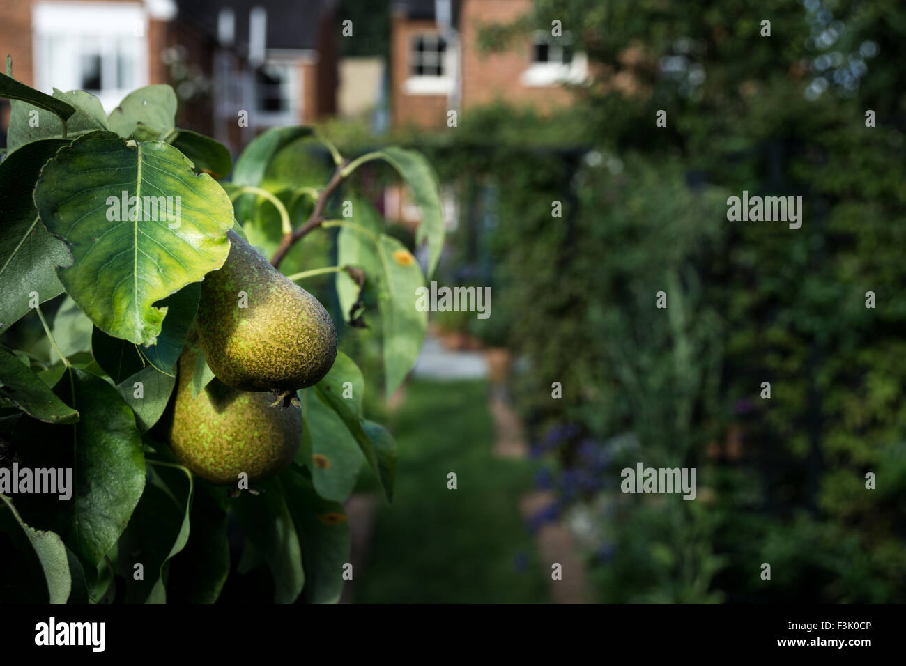 William's pears on a tree in an English Country Garden - Stock Image