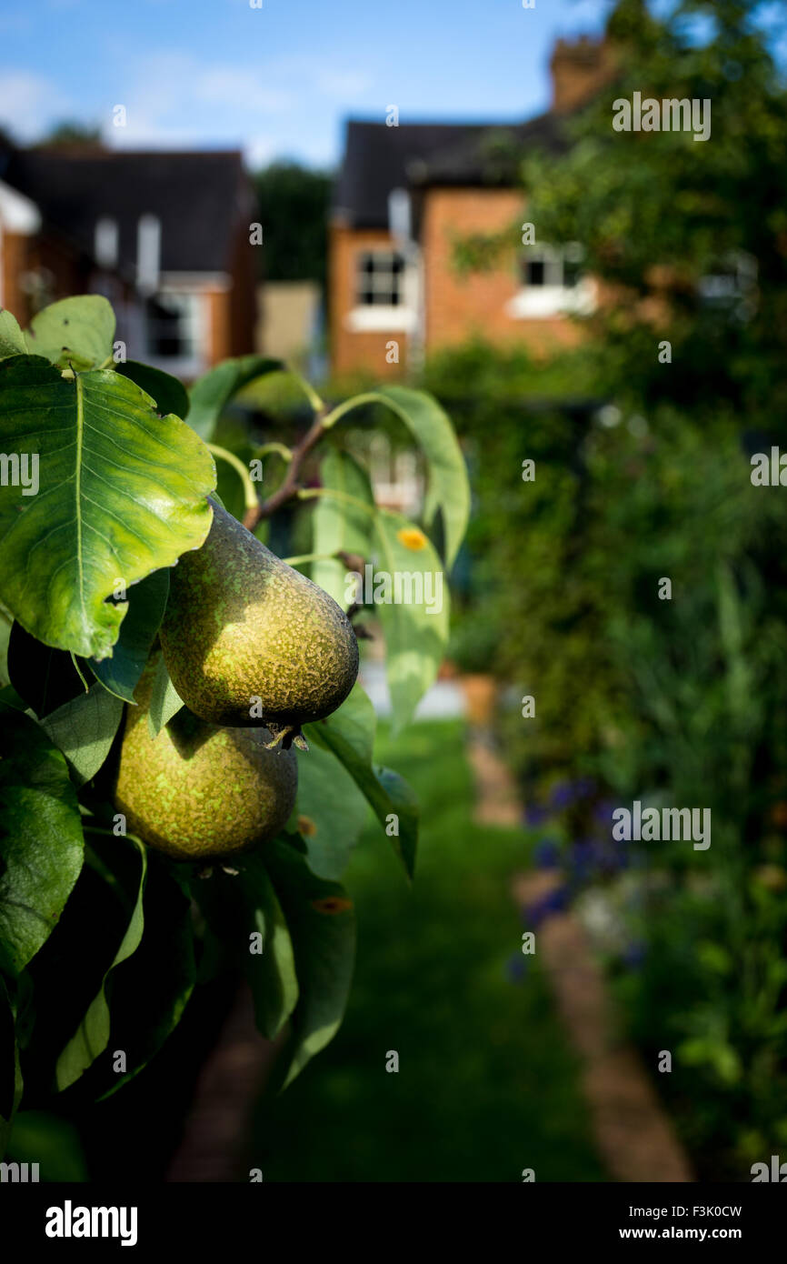 Conference pears on a tree in an English Country Garden - Stock Image