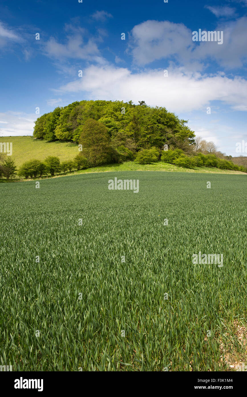 UK, England, Yorkshire East Riding, Thixendale, woodland above field of wheat - Stock Image