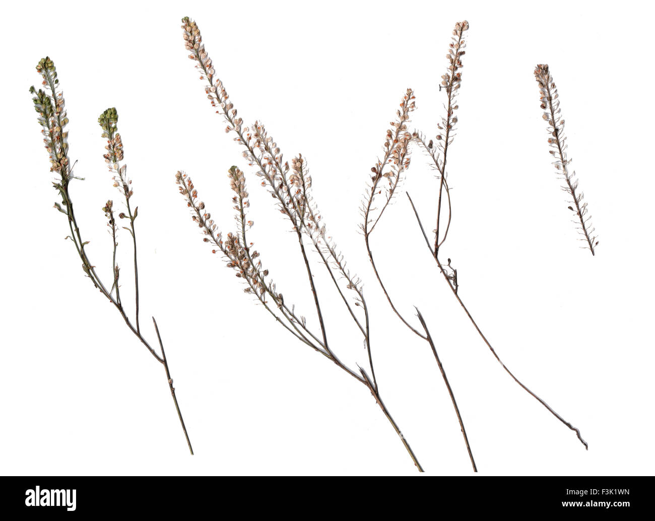 Collection of dried plants isolated on a white background - Stock Image