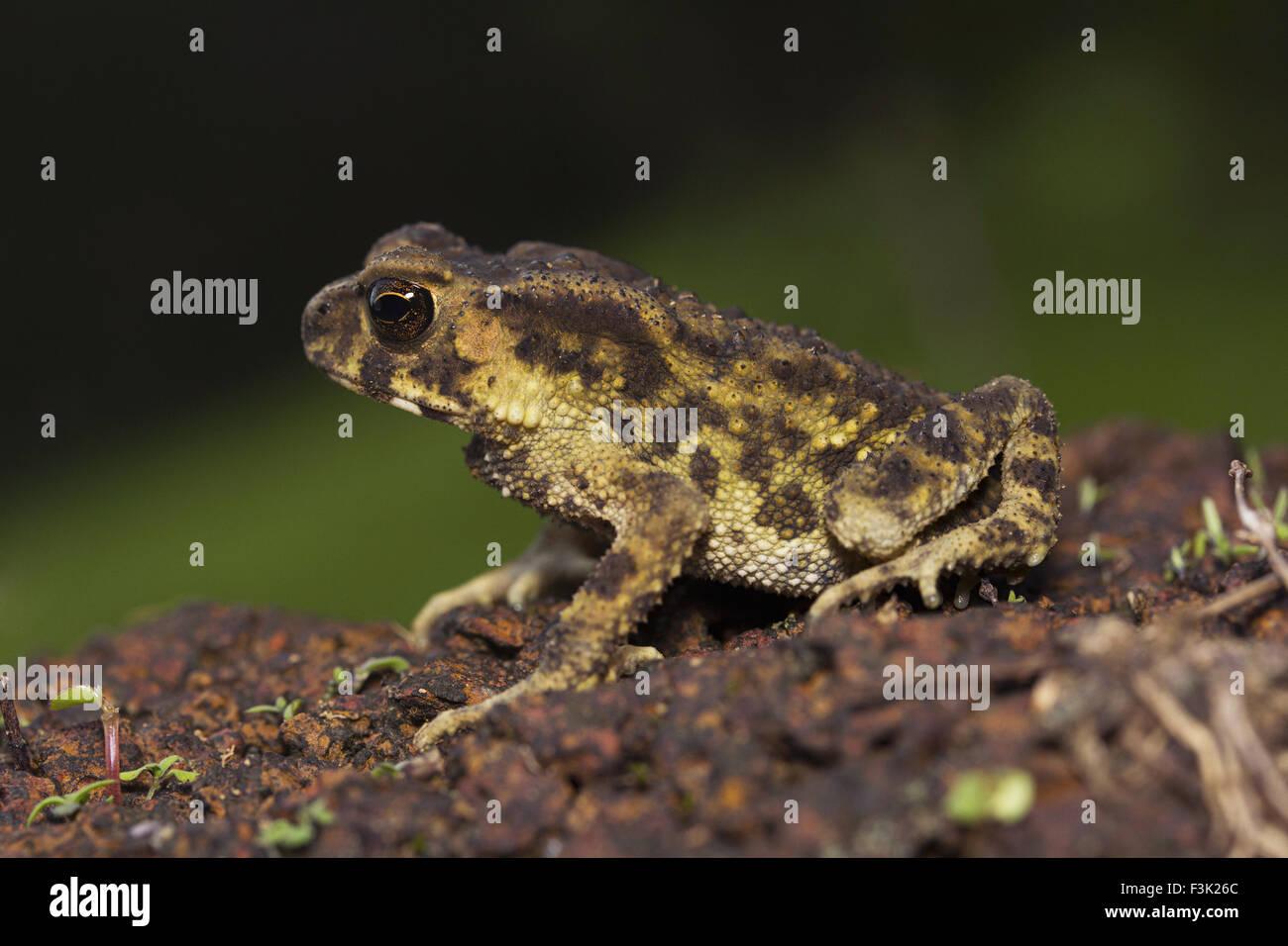 Toad, Bufo sp, Bufonidae, Agumbe ARRSC, Karnataka , India - Stock Image