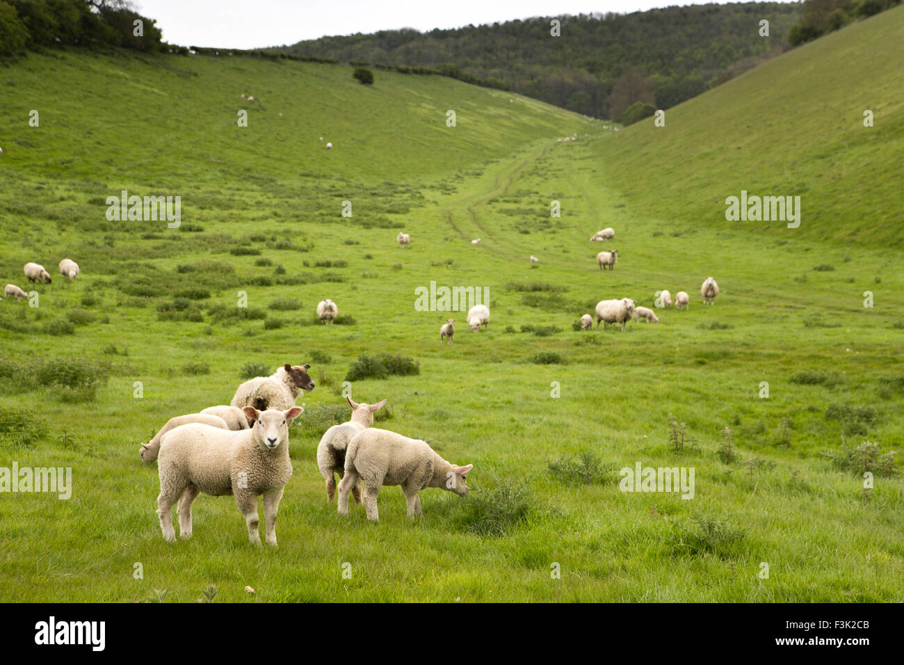 UK, England, Yorkshire East Riding, Millington, sheep grazing at end of Sylvan Dale - Stock Image