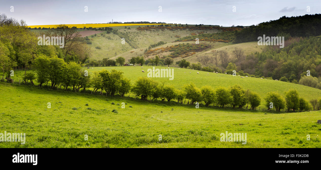 UK, England, Yorkshire East Riding, Millington, sheep grazing at end of Sylvan Dale, panoramic - Stock Image