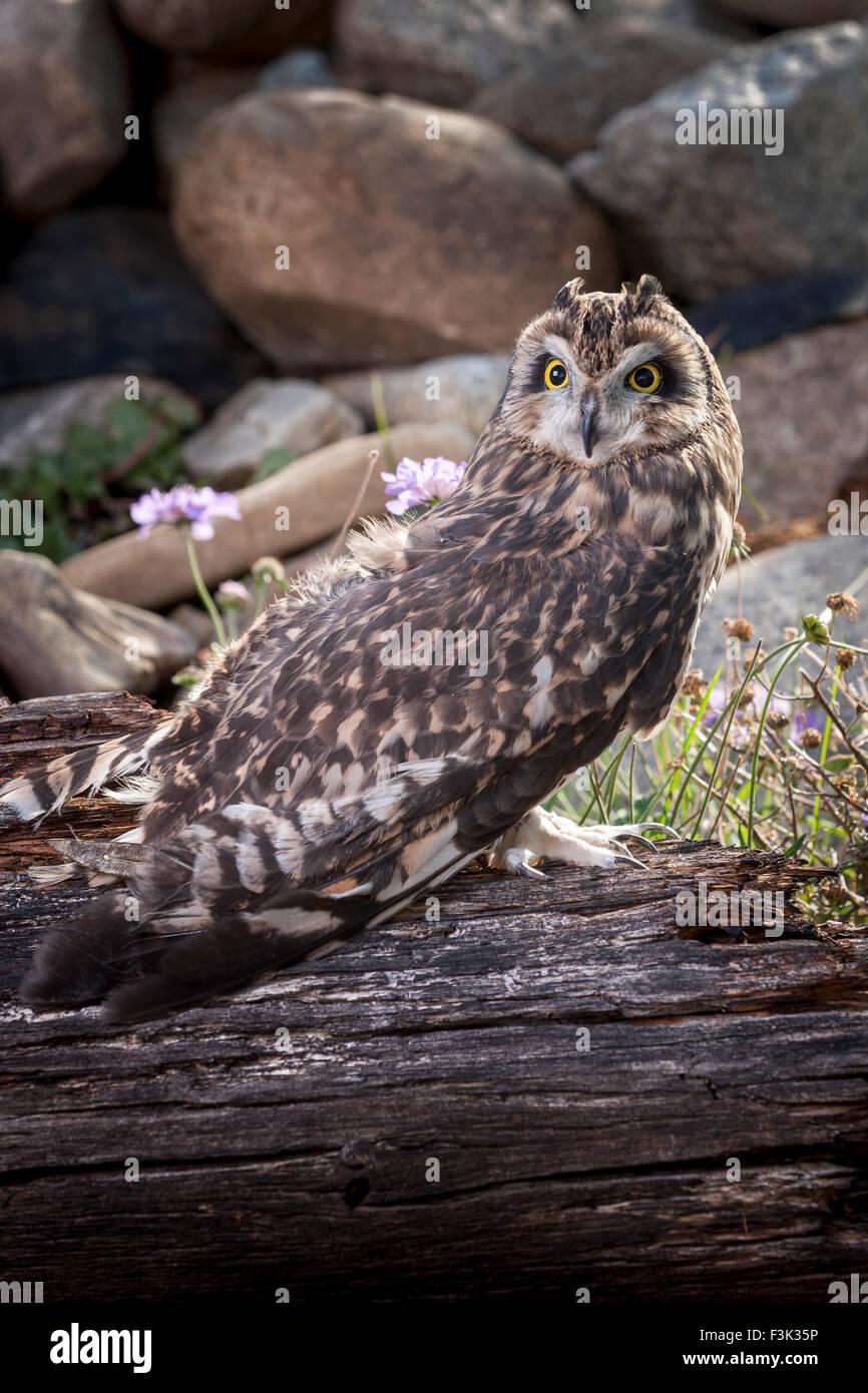 Captive short eared owl. - Stock Image