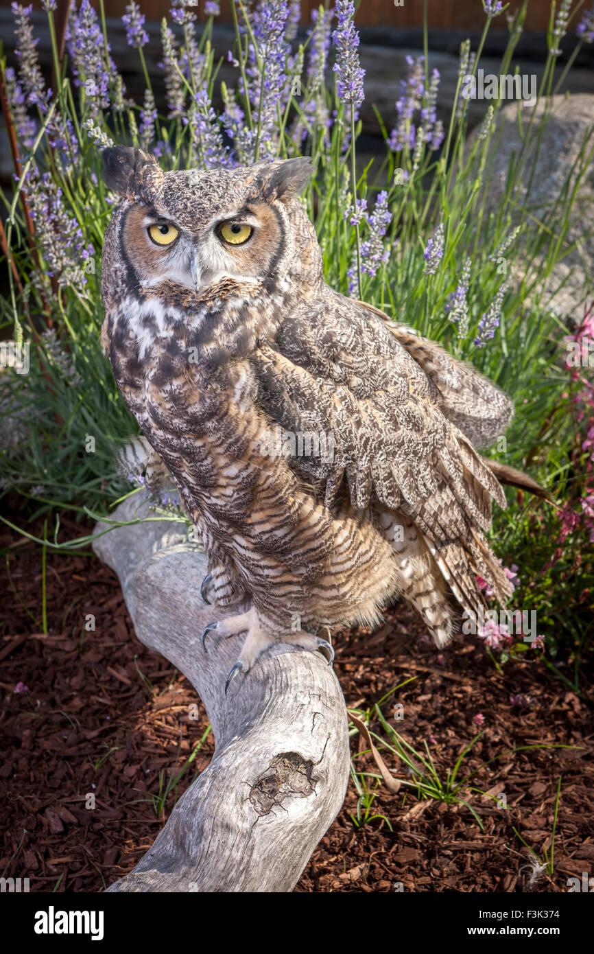Horned owl portrait. - Stock Image