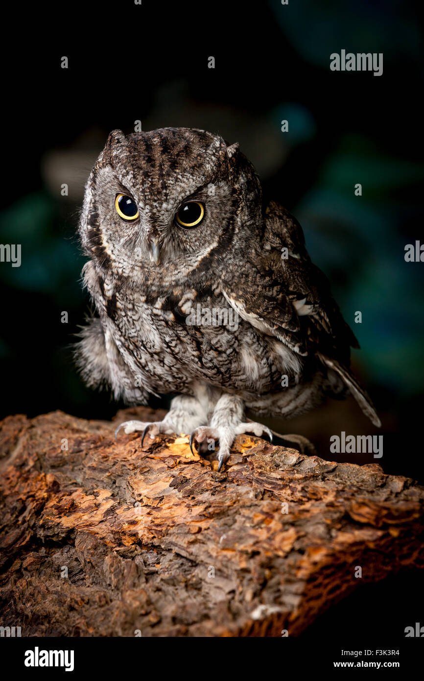 An indoor studio image of a captive screech owl named Ilene. - Stock Image