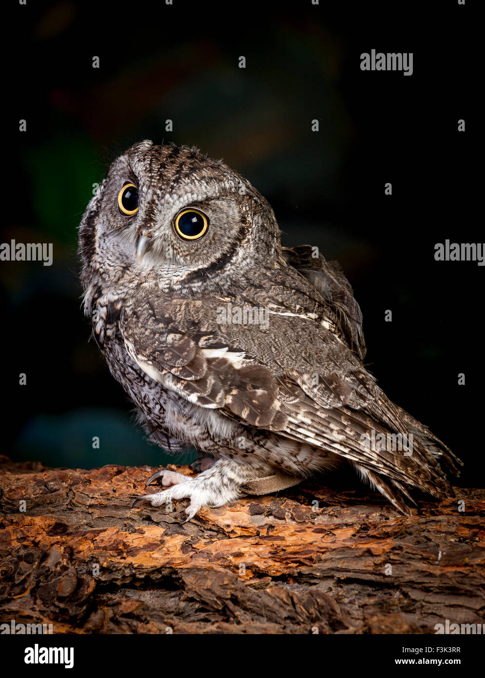 Side view of screech owl. - Stock Image