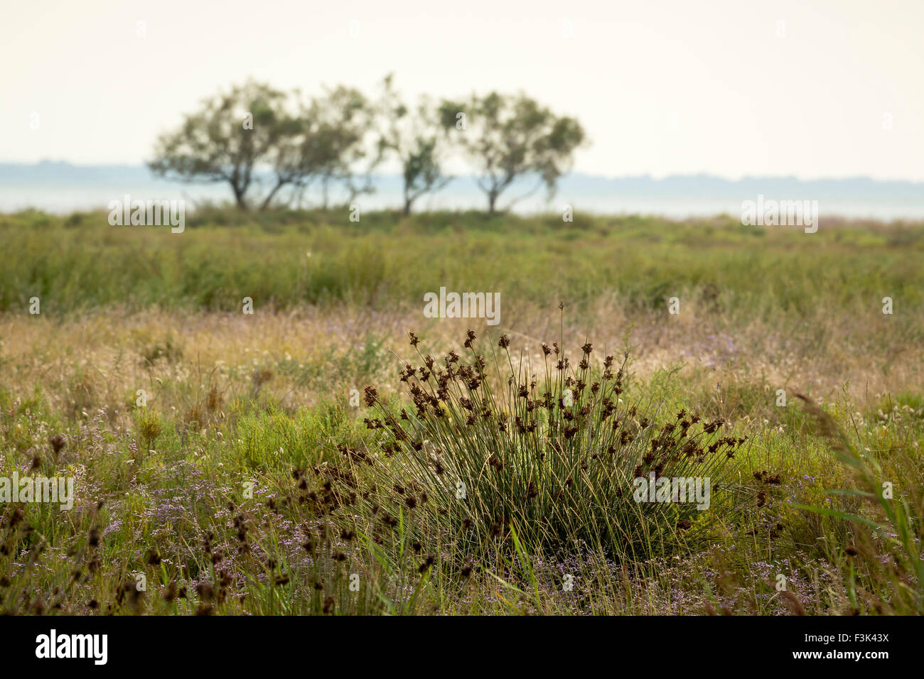 Camargue grasses and flowers - Stock Image