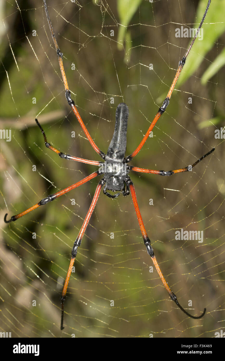 SIGNATURE SPIDER, Argiope sp, ARANEIDAE, Tripura, India - Stock Image
