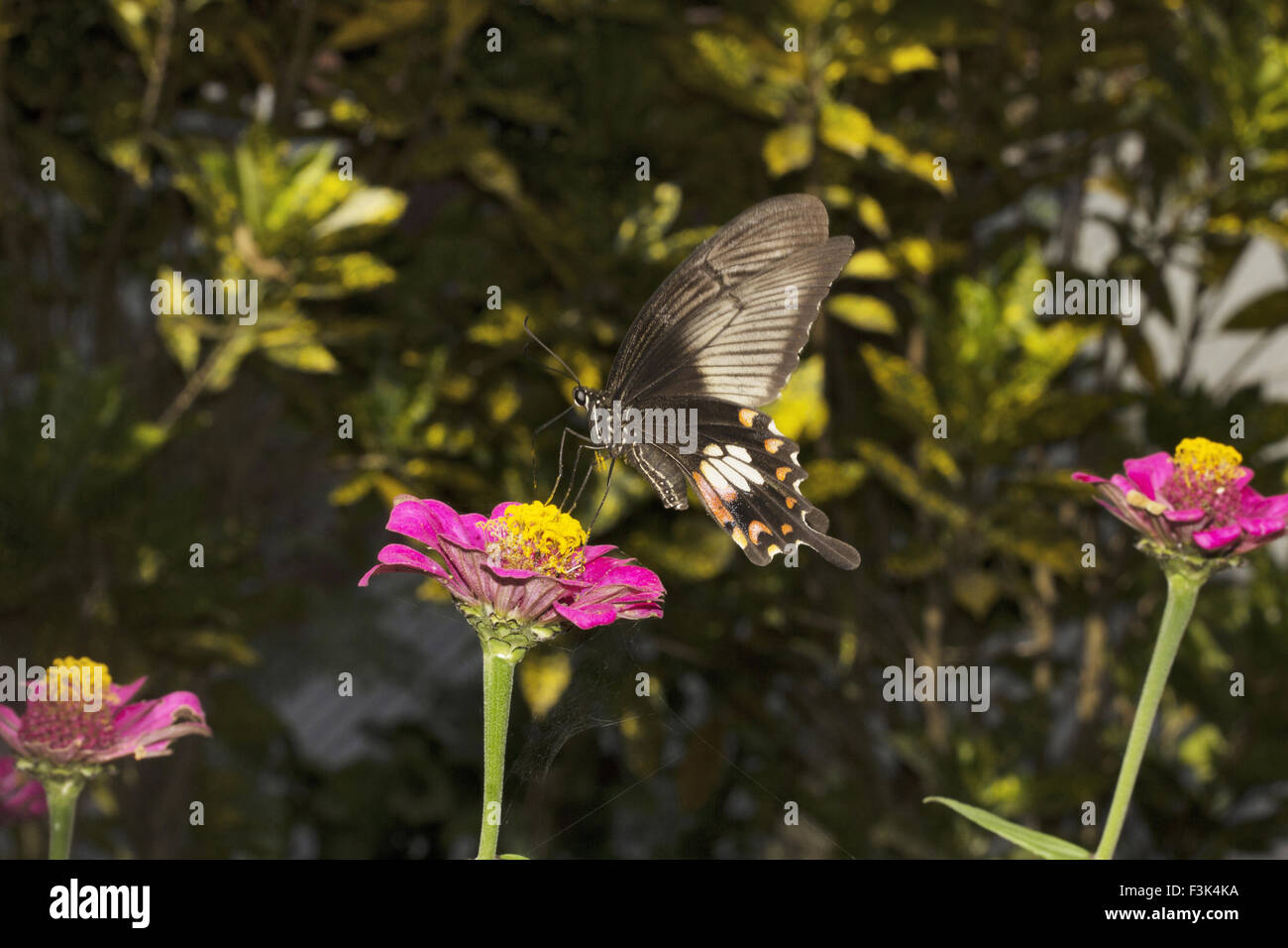 Common Mormon, Papilio sp, Papilionidae, Jampue hills, Tripura , India - Stock Image