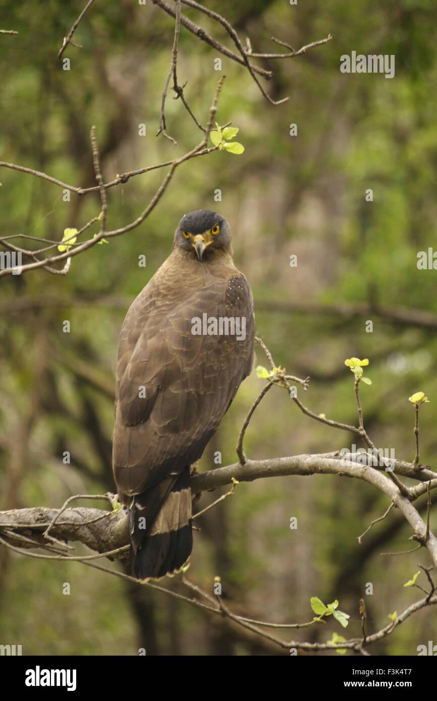 Crested serpent eagle, Spilornis cheela, Accipitridae, Madhya Pradesh, India - Stock Image