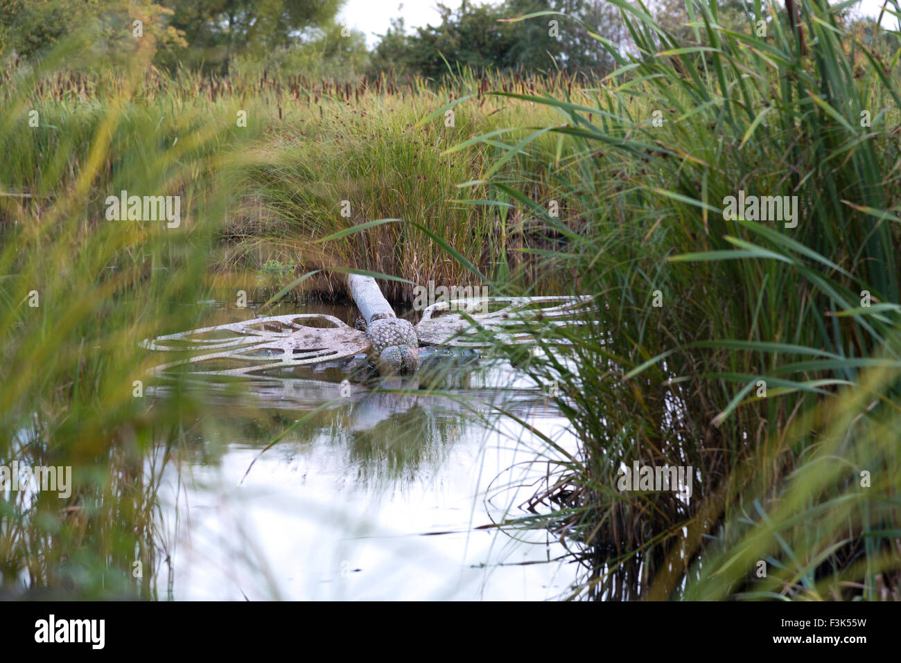 A giant grey gray concrete and metal dragonfly sculpture in the water at a nature reserve pond with reed mace and Stock Photo