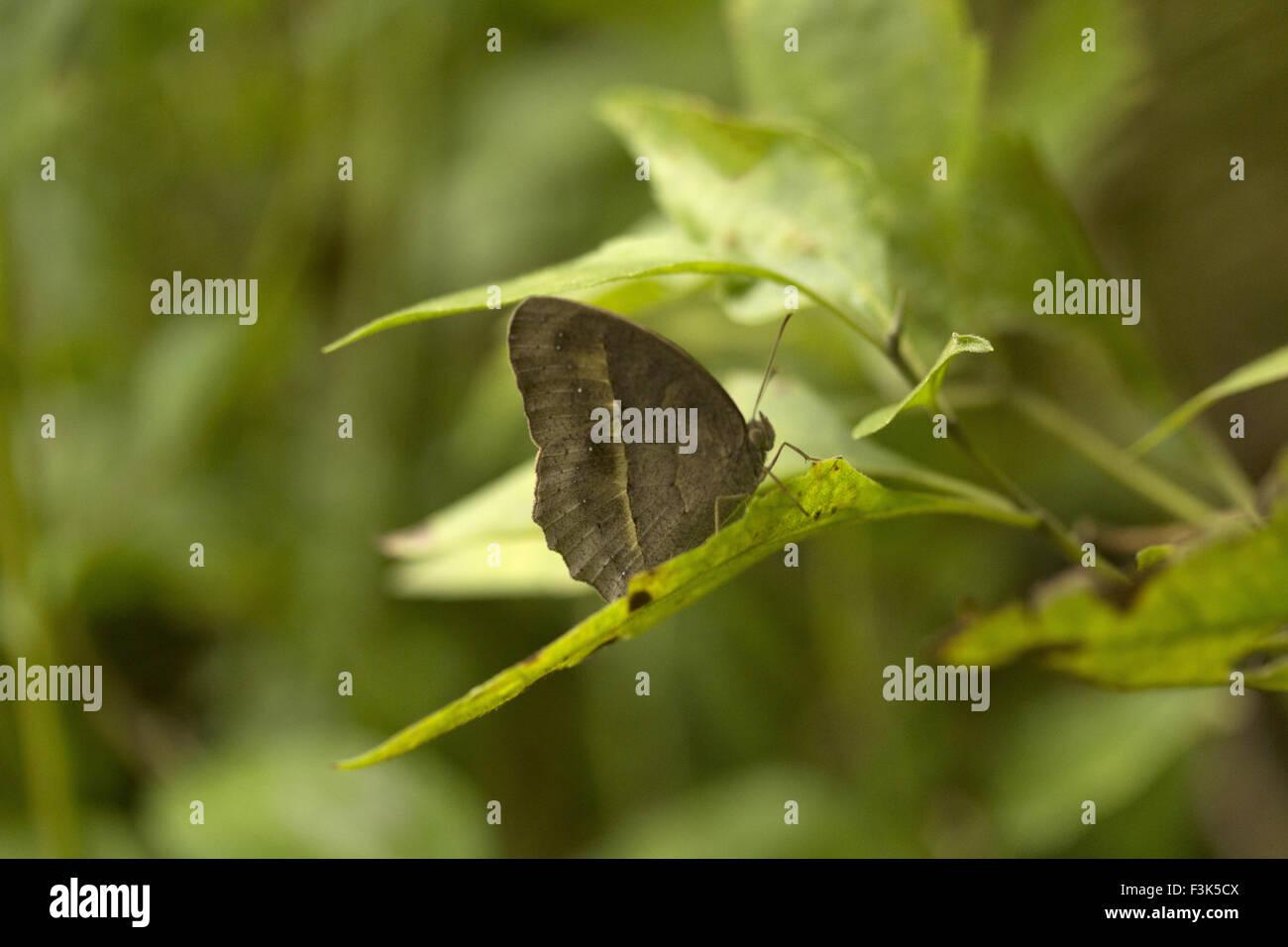 Common bush brown, Mycalesis perseus, Manu,Tripura, India. Nymphalidae : Brush Footed Butterflies - Stock Image