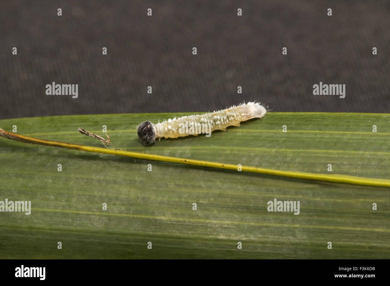 Powdered Baron caterpillar, Euthalia sp, Nymphalidae, Trishna, Tripura , India - Stock Image