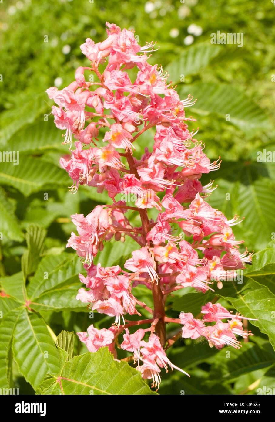 Flower of chestnut tree of pink flower on tree vertical orientation flower of chestnut tree of pink flower on tree vertical orientation mightylinksfo