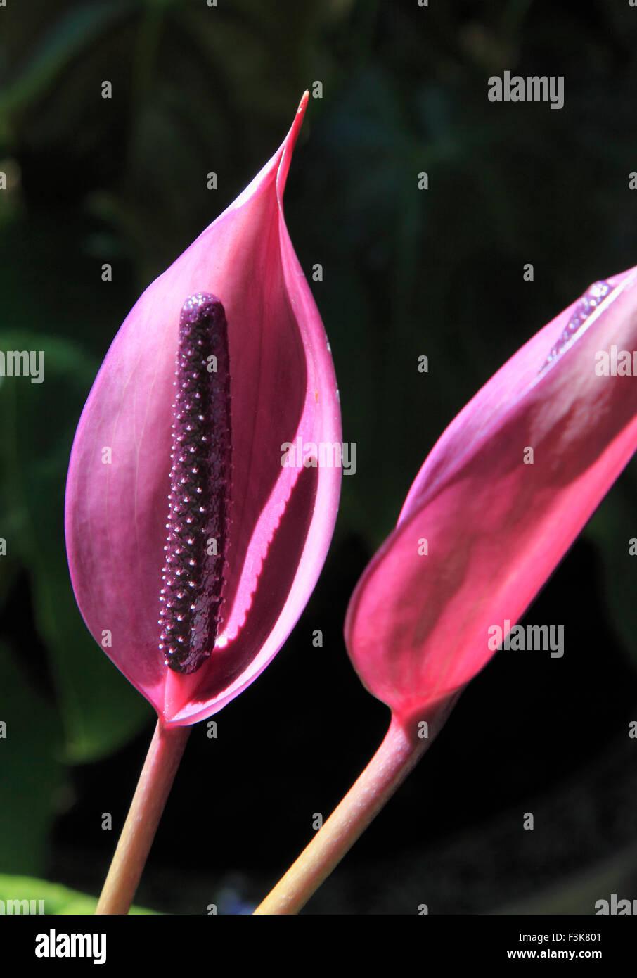 Vietnam, Dalat, Truc Lam, anthurium, flower, - Stock Image