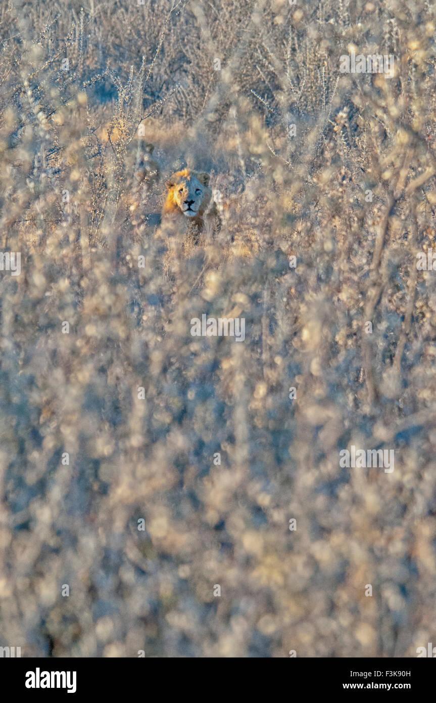 Male African Lion, Panthera leo, hidden in thorny underbrush, Etosha National Park, Namibia, West Africa Stock Photo